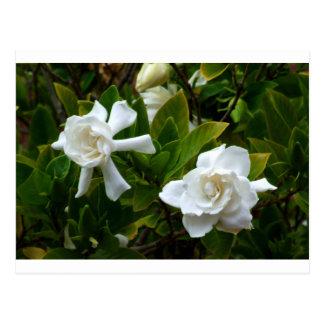 Gardenias geminados postal