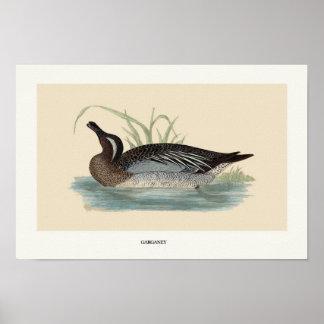Garganey duck poster