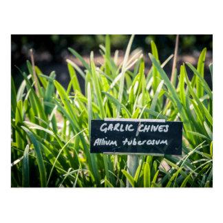 Garlic chives postcard