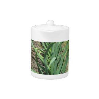 Garlic plants in rows in the garden teapot
