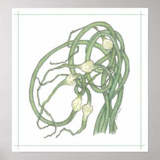 Garlic Scapes (Allium sativa) Poster