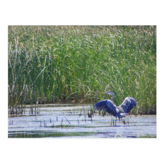 Garza azul en la reserva Fallon, N de Stillwater Postal