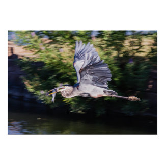 Garza azul en vuelo con los pescados poster