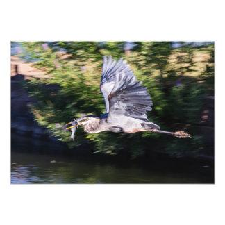 Garza azul en vuelo con los pescados fotografias