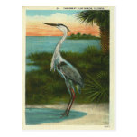 Garza azul la Florida del vintage Tarjeta Postal