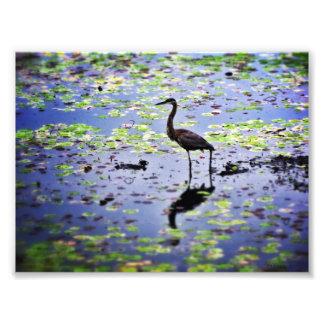 Garza de gran azul en el lago Nutting Impresión Fotográfica