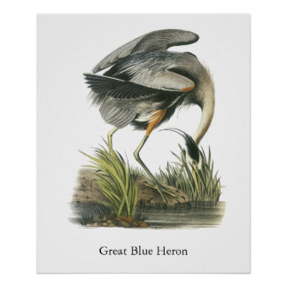 Garza de gran azul, Juan Audubon Posters