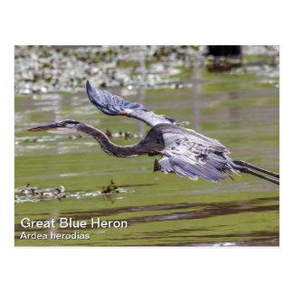 Garza de gran azul postales