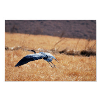 Garza de gran azul que vuela bajo poster