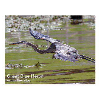 Garza de gran azul tarjeta postal