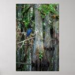 Garza de pequeño azul en el pantano de Cypress Impresiones