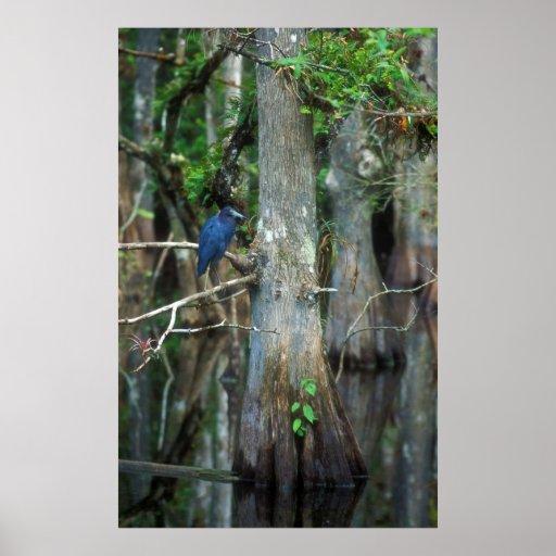 Garza de pequeño azul en el pantano de Cypress Póster