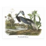 Garza de Tricolored, Juan Audubon Postales