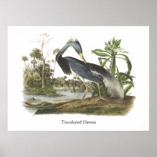 Garza de Tricolored, Juan Audubon Póster