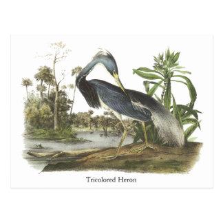 Garza de Tricolored, Juan Audubon Tarjeta Postal