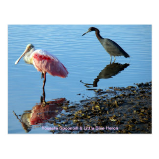 Garza del Spoonbill rosado y de pequeño azul Tarjetas Postales