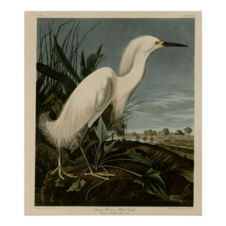 Garza nevada o Egret blanco Poster