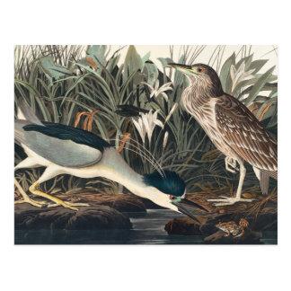 Garza o Qua-Pájaro de la noche de Audubon Postal