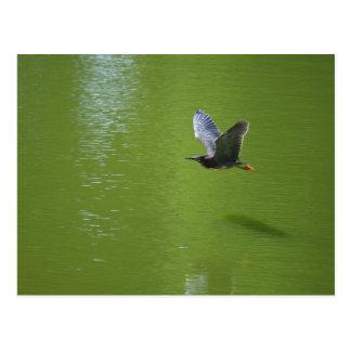 Garza verde en Mid Air Tarjetas Postales