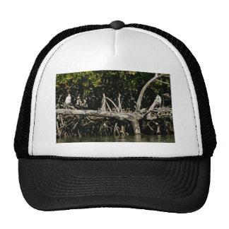 Garzas de pequeño azul en raíces del mangle gorras