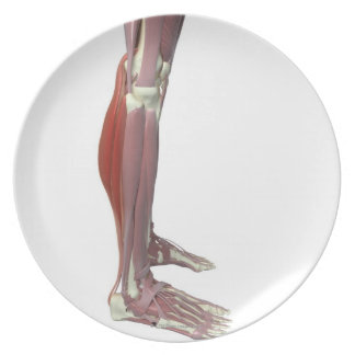 Gastrocnemius and Soleus Muscle Dinner Plate