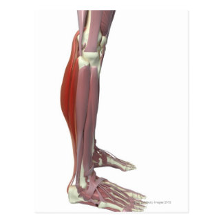 Gastrocnemius and Soleus Muscle Postcard