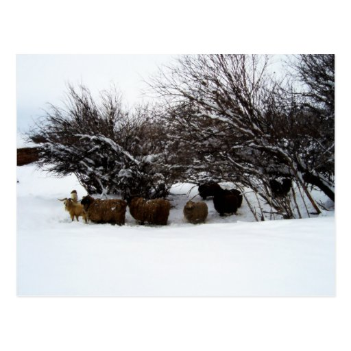 Gathering the Flock In the Snow Postcard