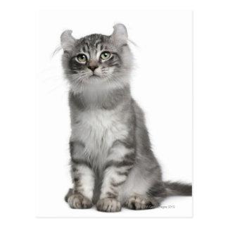 Gatito americano del rizo (3 meses) postales
