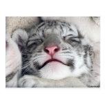 Gatito blanco Napping del tigre Postal