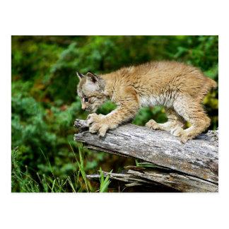Gatito canadiense del lince listo para saltar tarjetas postales