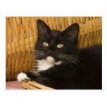 Gatito de pelo corto negro y blanco en la tapa del tarjetas postales