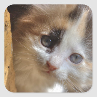 Gatito del calicó del Heterochromia Pegatina Cuadrada