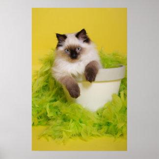 gatito del ragdoll en un poster del pote de la pla