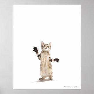 Gatito en el fondo blanco poster