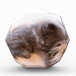 Gatito gris de pelo largo lindo del © P Wherrell