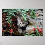 gatito Lince-verano-joven en registro hueco Posters