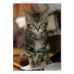 Gatito lindo del Tabby de Brown del Coon de Maine,