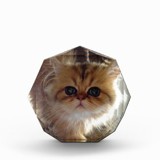 Gatito persa asustado