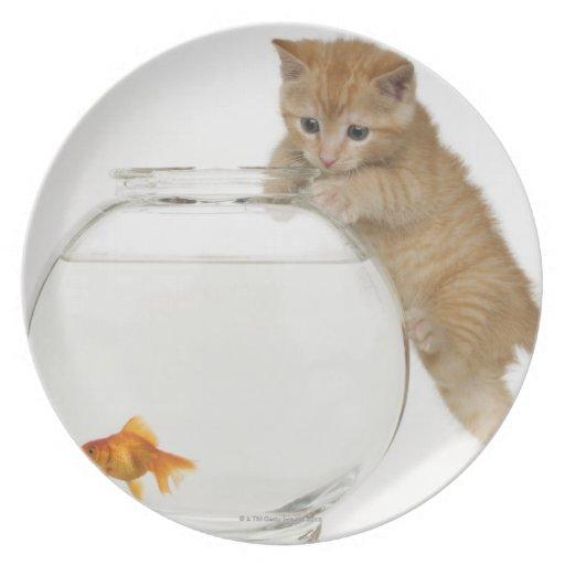 Gatito que intenta conseguir en un goldfish platos