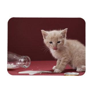 Gatito que lame la leche derramada de la botella imanes de vinilo
