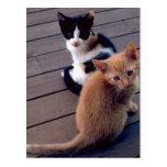 Gatitos del calicó y del naranja postal