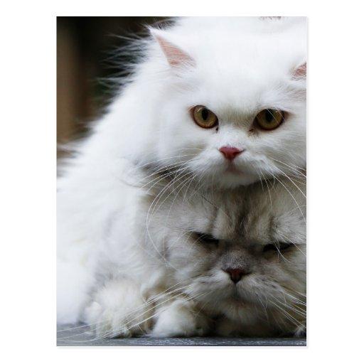 Gatitos lindos de los gatos persas postal
