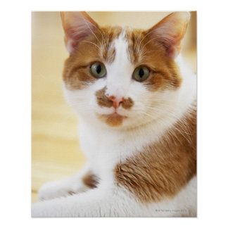 gato anaranjado y blanco que mira la cámara impresiones
