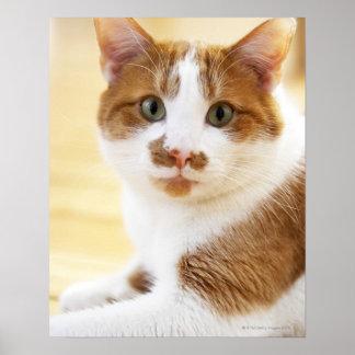 gato anaranjado y blanco que mira la cámara póster