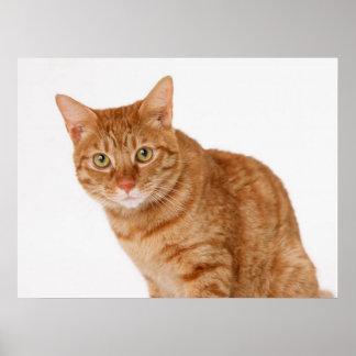 Gato atento del jengibre póster
