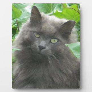 Gato azul ruso gris de pelo largo placa