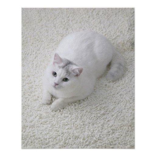 Gato blanco que mira para arriba posters