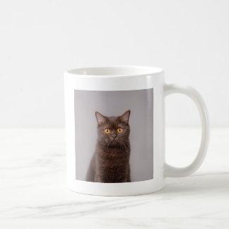 Gato británico del shorthair tazas de café