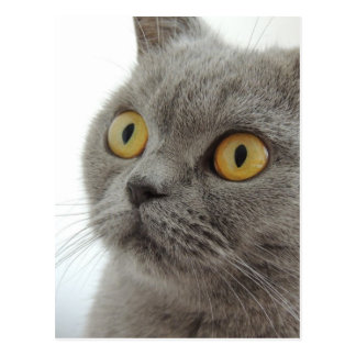 Gato británico lindo de Shorthair Postal