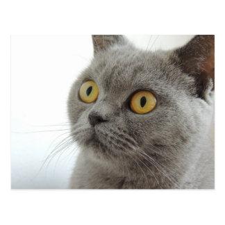 Gato británico lindo de Shorthair Tarjetas Postales
